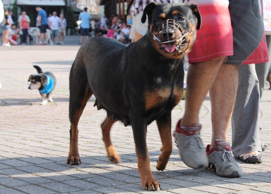 Cães da grande porte devem usar focinheira (Ana Matesco)