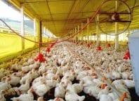 Produção de frango catarinense (Cidasc/Secom)