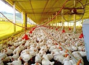 Produção de frango em Santa Catarina - foto de Cidasc/Secom