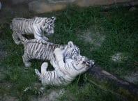 Primeira ninhada de tigre branco nascido no Brasil pode ser vista no Zoo Beto Carrero World - foto de Guma Miranda