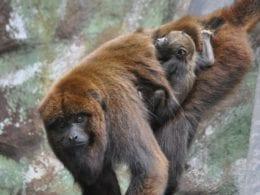 erceiro filhote do casal de bugios a nascer no zoológico - foto do Zoo Pomerode