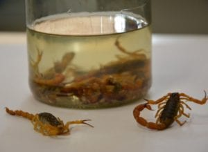Aumenta quantidade de focos de escorpião amarelo em Blumenau - foto de Michele Lamin