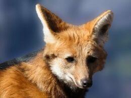 imagem do lobo-guará - Imagem de Gerhard G. por Pixabay