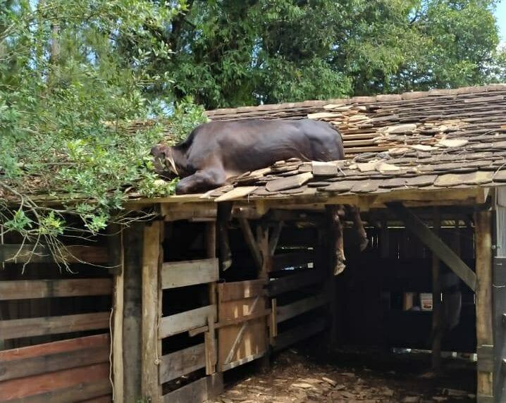 Vaca presa em telhado em Timbó - foto do Corpo de Bombeiros